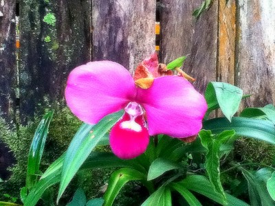 167 Prize winning orchid - the picture doesn't do it justice..JPG